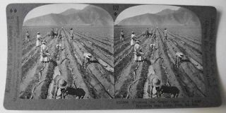 Planting Sugar Cane in Large Hacienda near Lima Stereoview So. Am