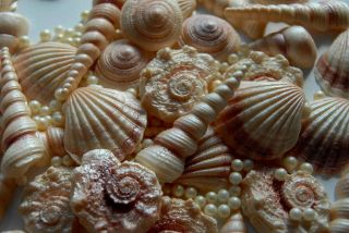 25 SEA SHELLS edible cake cupcake toppers realistic (3 5cm) and cream