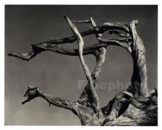 1934 Vintage California Point Lobos Cypress Tree Wood Photo Art by