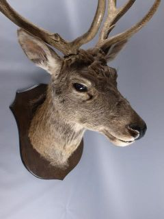 red deer stag head taxidermy image 2